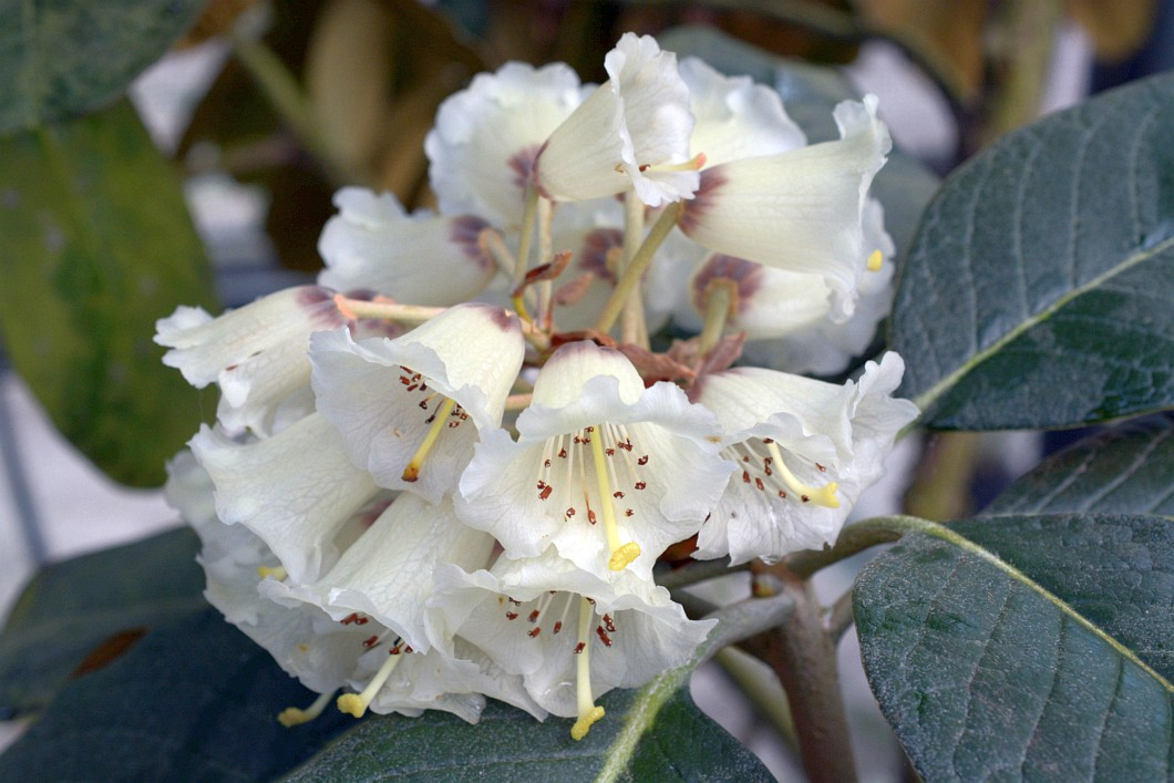 Silber Rhododendron