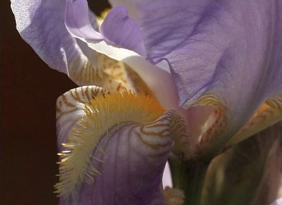 bartiris ritter schwertlilie deutsche schwertlilie iris germanica familie der. Black Bedroom Furniture Sets. Home Design Ideas