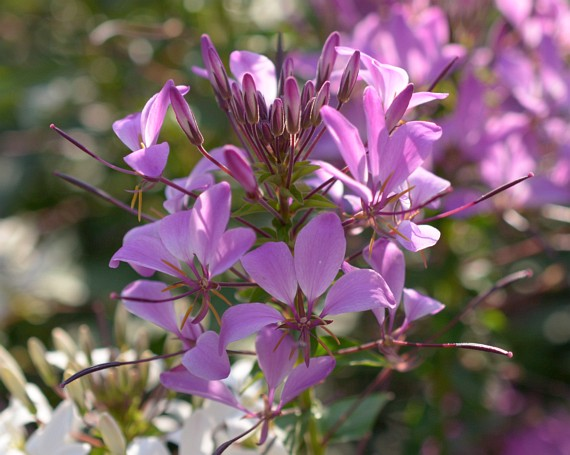 Spinnenblume (Cleome)